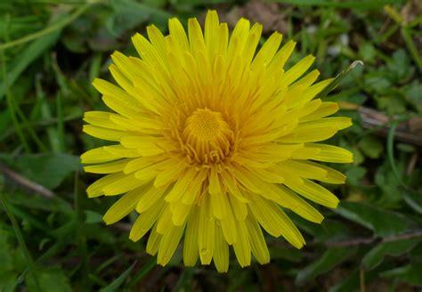 dandelion facts taraxacum species dandelions a tr in the woods
