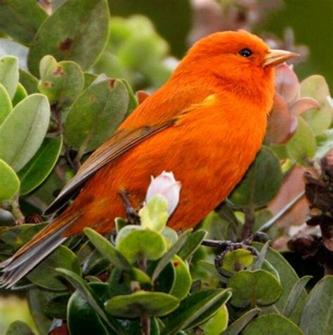 male hawaiian akepa is rare and the smallest bird in
