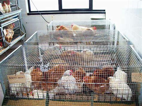 galline da cortile animali da cortile emporio della natura