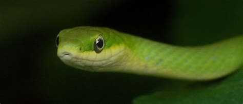 backyard beasts august  rough green snake