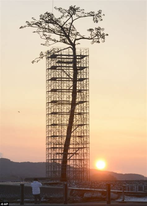The Miracle Tsunami The Miracle Pine Tree That Survived 2011 Japanese Tsunami Before Dying Six Months Ago Is