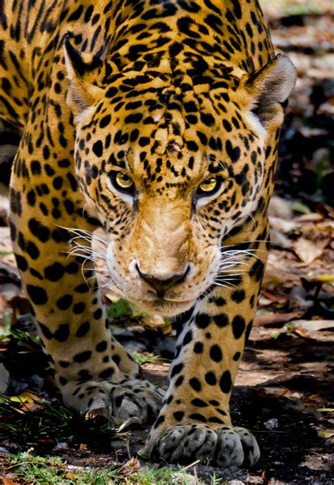 imagenes jaguar you my wildlife favorites gallery firefall photography