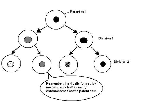 diagram division sle cells the cell cell division wikieducator