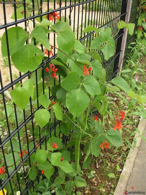 seme spagna graine seed haricot d espagne plante annuelle grimpante