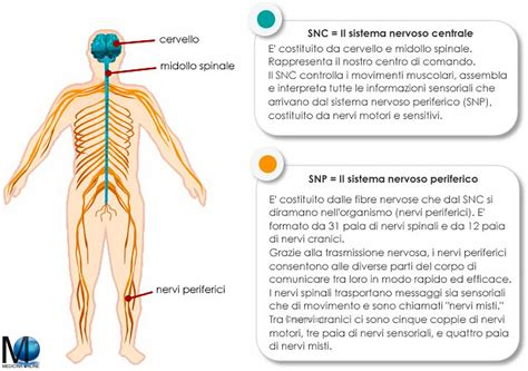 test sistema nervoso differenza tra sistema nervoso centrale e periferico