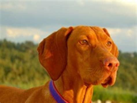 vizsla puppies florida florida vizsla rescue adoptions rescueme org