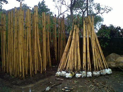 Bibit Anggrek Makassar jual tanaman hias tanamanbaru