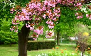 spring park tree pink flowers in full bloom 2560x1600