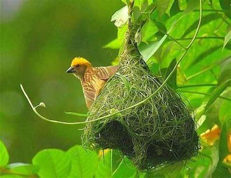 weaver finch making  bird nest winged  bird
