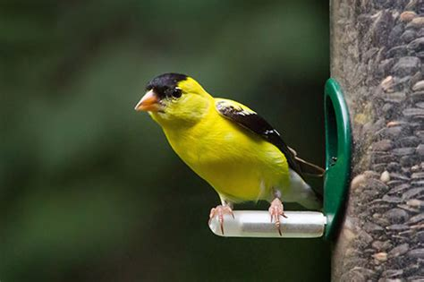 american goldfinch facts photos and information