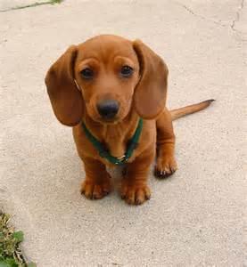 Dachshund Puppies Starring Rufus My Smooth Miniature Dachshund