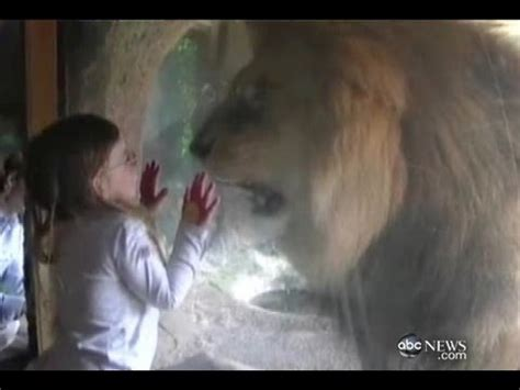 little girl faces lion at zoo youtube