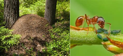 tuin een grote mieren nest mieren vermijden en ecologisch verdelgen
