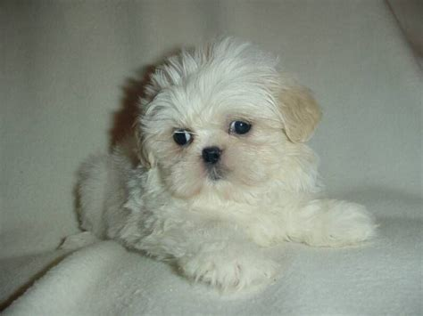 maltese shih tzu chihuahua maltese bichon frise shih tzu chihuahua type middlesbrough pets4homes