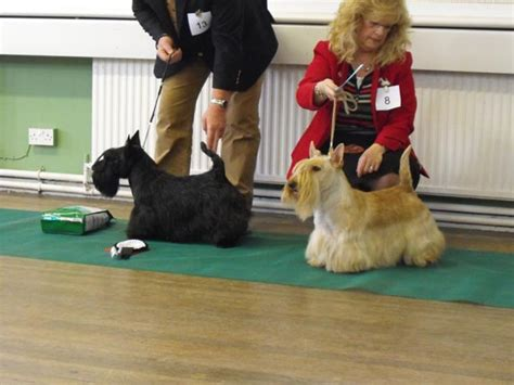 Cony 02 Raglan midland counties scottish terrier west highland white
