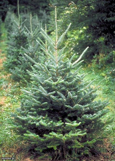 fraser fir forest for the trees pinterest