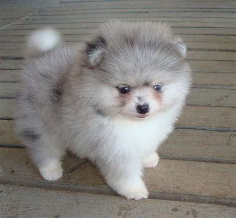 pomeranian problems 25 best ideas about pomeranians on teacup pomeranian puppy teacup dogs