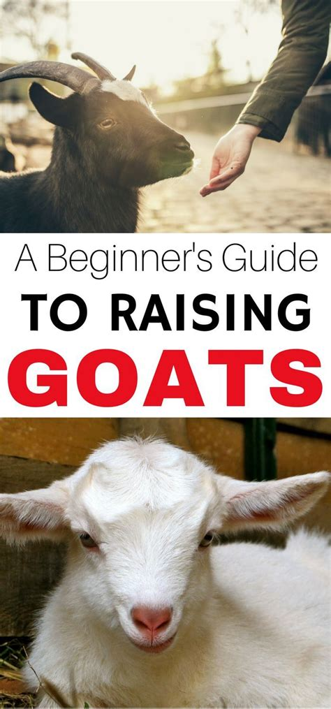 raising dairy goats a beginners starters guide to raising dairy goats books best 25 pygmy goat house ideas on goat house
