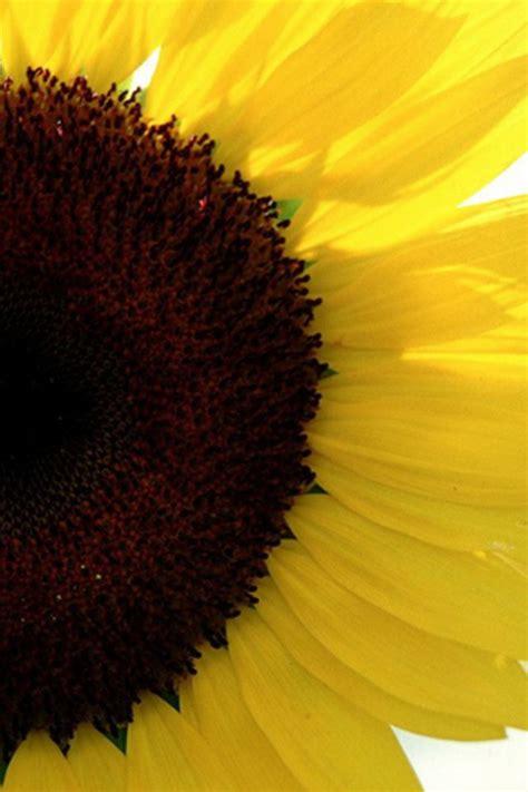 wallpaper for iphone sunflower sunflower iphone wallpaper hd