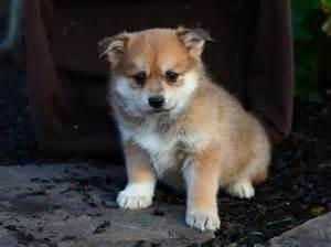 Happy little pomsky pups craigspets