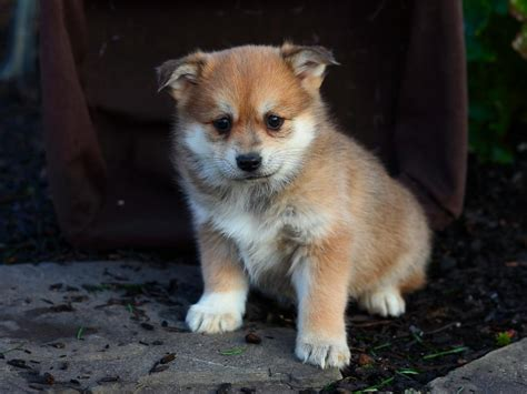 pomsky puppies for sale in mn happy pomsky pups craigspets