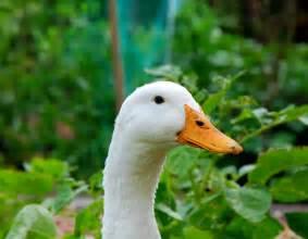 duckling image file duck jpg