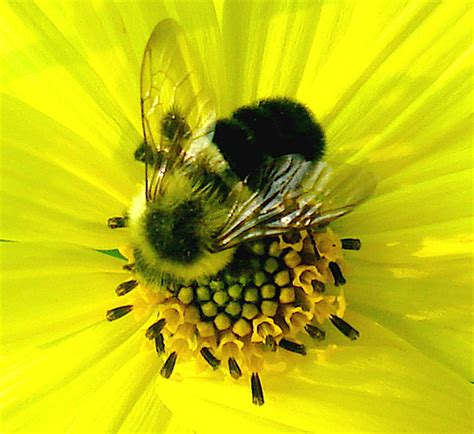 Yellow Bee althouse yellow bees yellow flowers