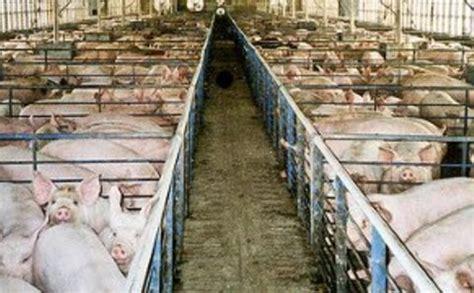 china encounters factory farming   china dialogue