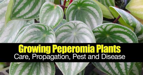 growing peperomia plants care propagation pest  disease
