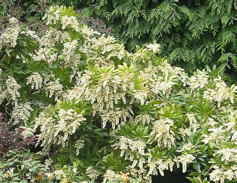 white flower shrub shrub pieris in flower white