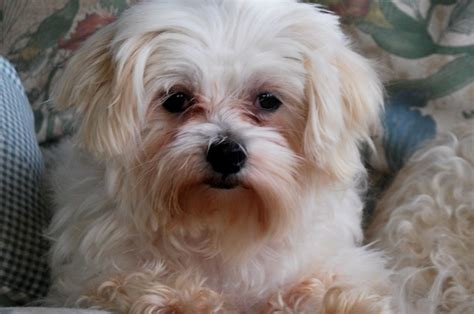 maltese shih tzu yorkie mix for sale pekingese poodle yorkie mix dogs breeds picture
