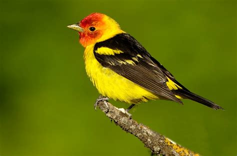 western tanager coniferous forest