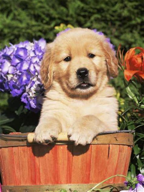 golden retriever illinois golden retriever puppy in canis familiaris illinois usa photographic print