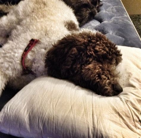 great danoodle puppies for sale 17 best images about the great danoodle woodford the standard poodle the