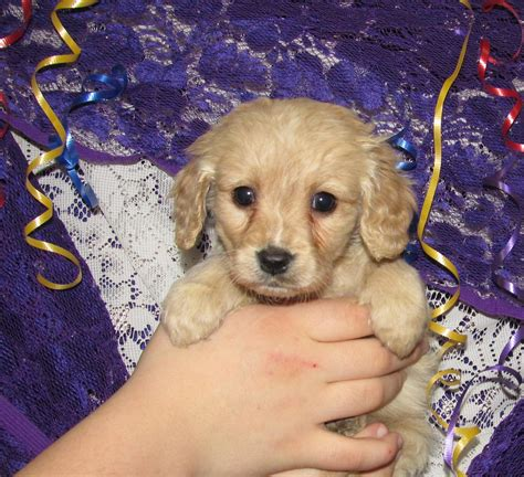 miniature golden retriever breeders puppy food aggression breeds picture