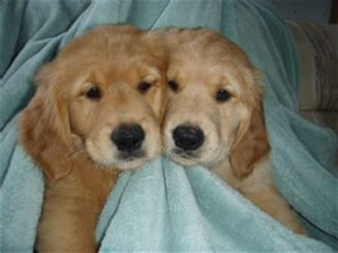 golden retriever puppies spokane golden retriever puppies in washington