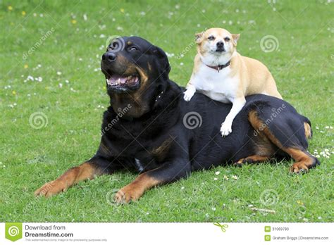 chihuahua and rottweiler rottweiler and chihuahua stock photo image 31069780