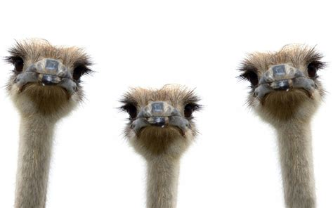 Three ostriches wallpapers and images   wallpapers