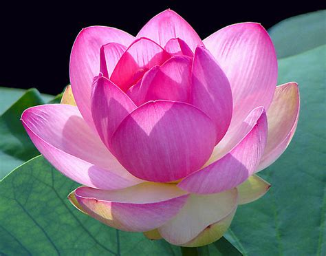 Lotus Blossom Lotus Pictures Digital Hd Photos
