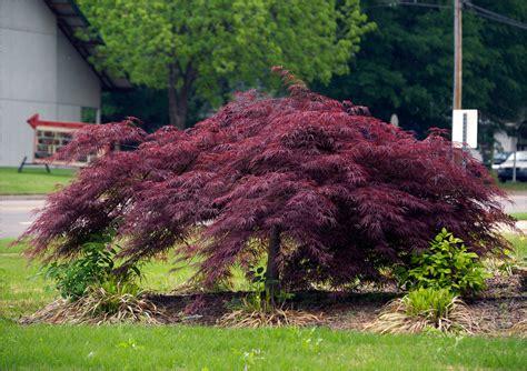majestic purple plants for your garden crasstalk