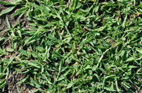 what does crabgrass look like