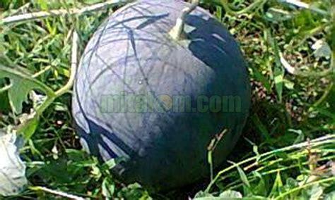 budidaya semangka  biji  berbuah besar