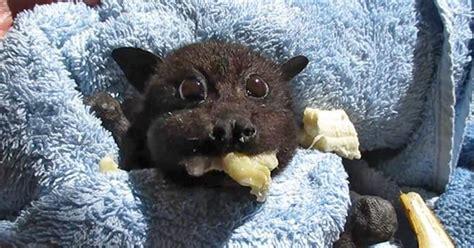 baby bat rescued   hit  car stuffs  cheeks  banana   video