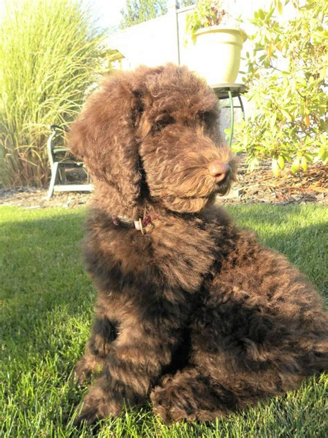 mini goldendoodles oregon f1b mini goldendoodle for sale oregon