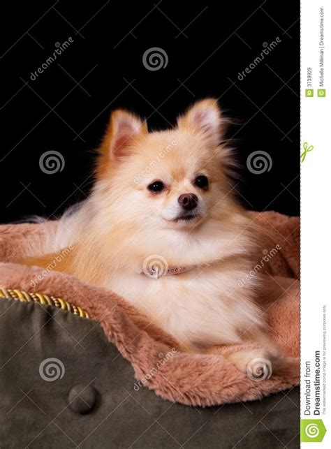 pomeranian bed pomeranian in bed royalty free stock images image 3739929