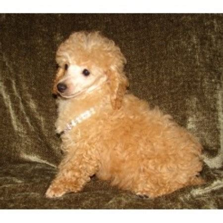 miniature poodle rescue indiana poodles poms n more llc poodle breeder in syracuse