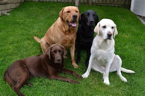 labrador colors 75 besten labrador bilder auf hund katze