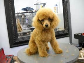 different styles of hair cuts for poodles miniature poodle grooming poodle forum standard