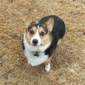 spencer a tri colored corgi from oklahoma corgi dogs
