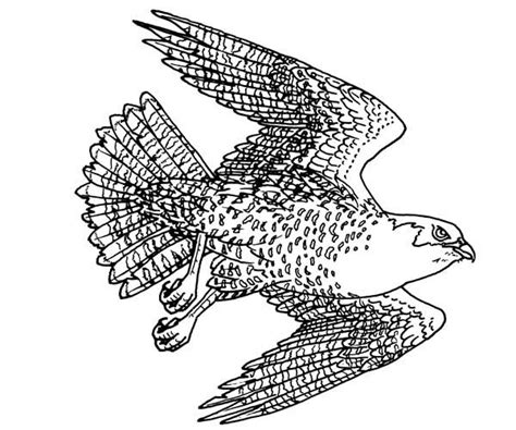 falcon coloring coloring pages